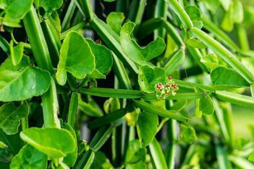 cissus quadrangularis fat loss